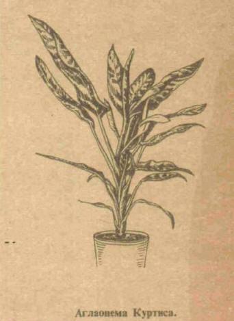 Англаонема - Справочник цветовода