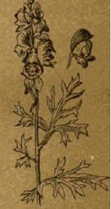 Аконит - Справочник цветовода