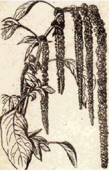 Амарант - Справочник цветовода