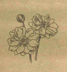 Анемона - Справочник цветовода