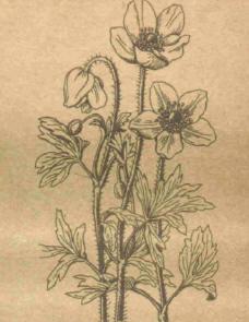 Анемона лесная - Справочник цветовода