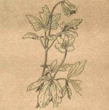 Анемона дубравная - Справочник цветовода
