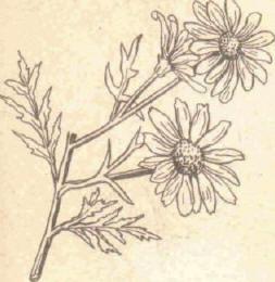 Антемис - Справочник цветовода
