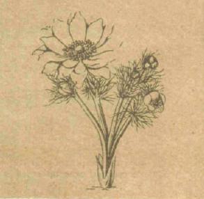 Адонис - Справочник цветовода