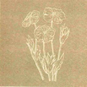 Агростемма - Справочник цветовода