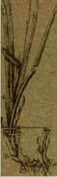 Аир - Справочник цветовода