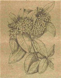 Акокантера - Справочник цветовода