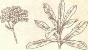 Алиссум - Справочник цветовода