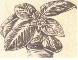 Аллоплектус - Справочник цветовода