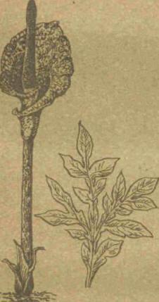 Аморфофаллюс - Справочник цветовода