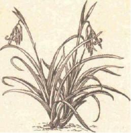 Бильбергия - Справочник цветовода