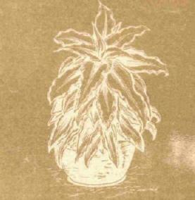 Криптантус - Справочник цветовода