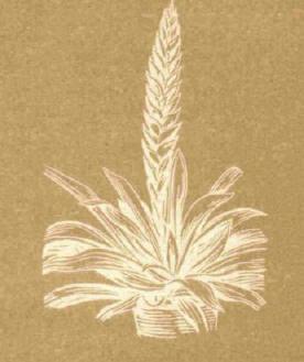 Фризия - Справочник цветовода
