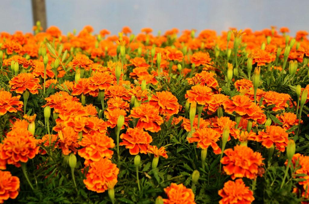 Тагетес - Цветочная поляна